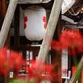 Photos: 桜紋の提灯