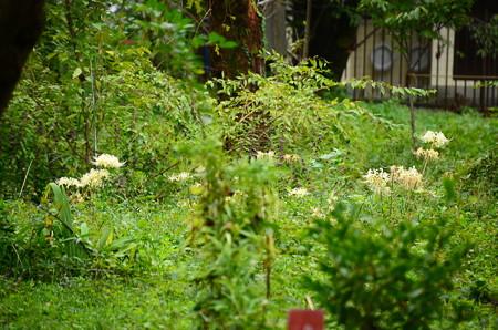 桜園の白花彼岸花(シロバナヒガンバナ)
