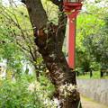桜通学路の白花彼岸花