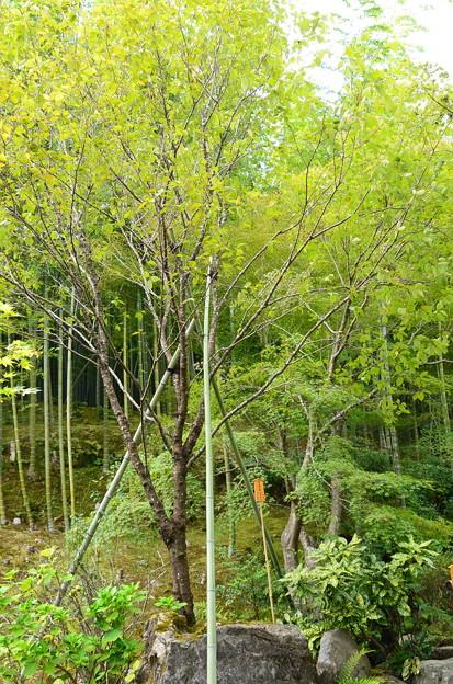 植え直された啓翁桜(ケイオウザクラ)