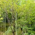 写真: 植え直された啓翁桜(ケイオウザクラ)