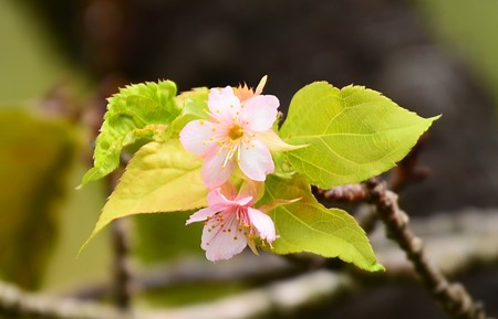 寒桜(カンザクラ)