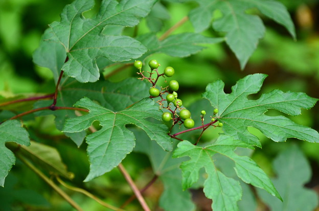 色付き前の切れ葉野葡萄(キレハノブドウ)