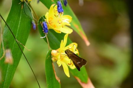 黄花の突き抜き杜鵑に止まるイチモンジセセリ