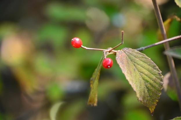 小葉の莢蒾(コバノガマズミ)