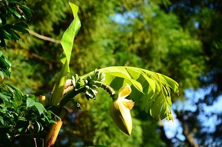 芭蕉の花と実