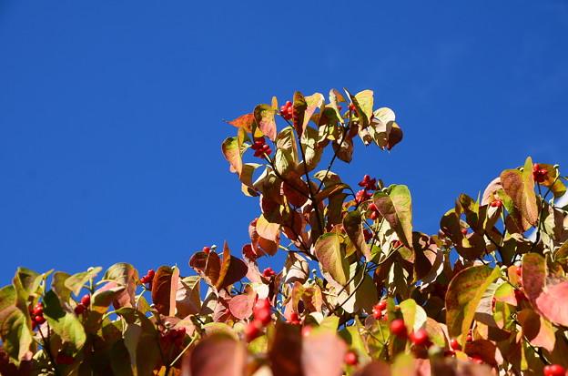 秋空の花水木(ハナミズキ)