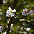 写真: 十月桜(ジュウガツザクラ)