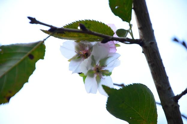 写真: 冬桜(フユザクラ)