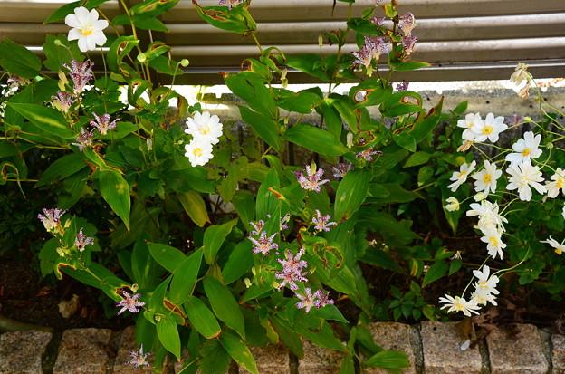 我が家の秋の花