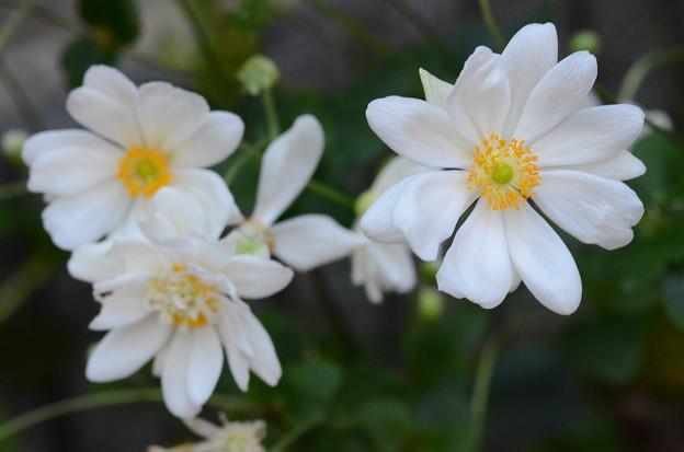 我が家の秋明菊(シュウメイギク)
