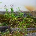 写真: 杜鵑とコムラサキ