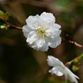 写真: 子福桜(コブクザクラ)