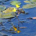 狸藻(タヌキモ)