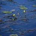 写真: 狸藻(タヌキモ)