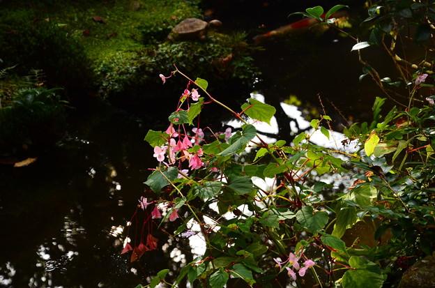 秋海棠と錦鯉