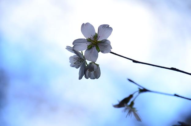 咲き始めた四季桜(シキザクラ)