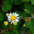 足摺野路菊(アシズリノジギク)