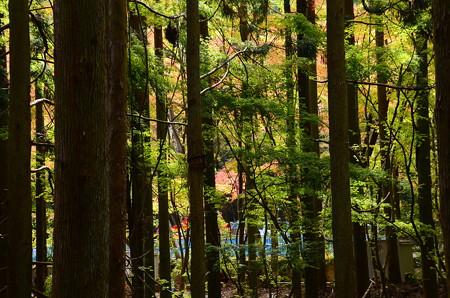 杉木立の奥の色づき
