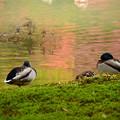 色づき始めた池の鴨