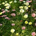 写真: 色とりどりの秋桜