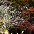 八幡宮前の十月桜と薄