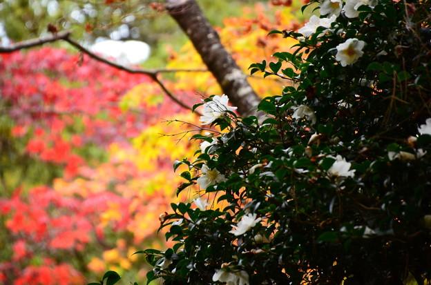 紅葉に咲く山茶花