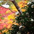 写真: 紅葉に咲く山茶花