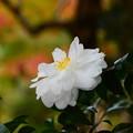 写真: 山茶花(サザンカ)