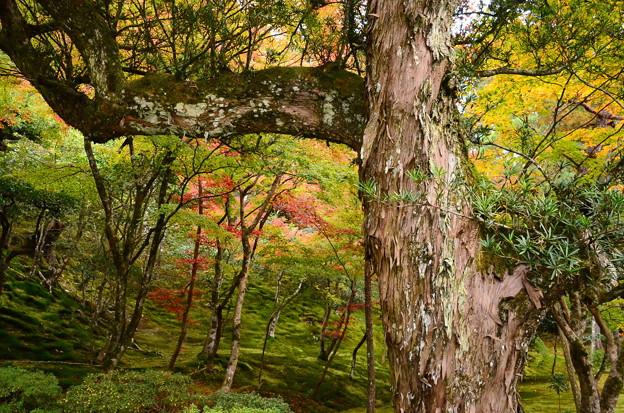 千代の槇脇の紅葉