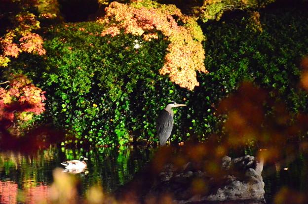 ライトアップの中の鷺と鴨