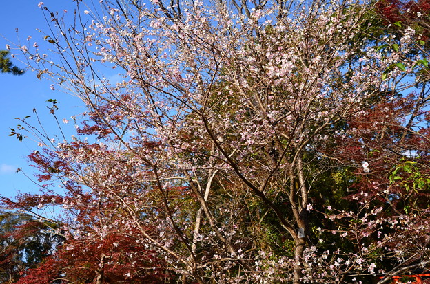 満開の四季桜(シキザクラ)