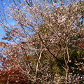 Photos: 満開の四季桜(シキザクラ)