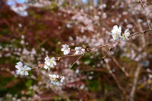 紅葉の前の桜