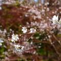 写真: 紅葉の前の桜