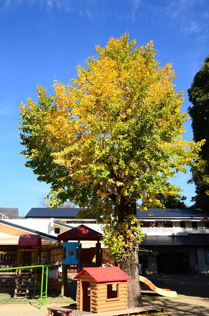 聖水保育園の公孫樹
