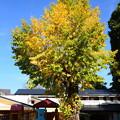 Photos: 聖水保育園の公孫樹