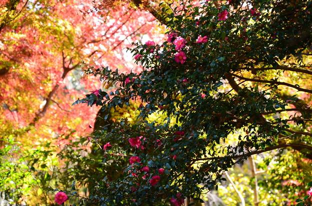 紅葉の前の山茶花
