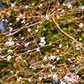 子福桜と十月桜