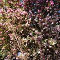 山茶花の前の十月桜