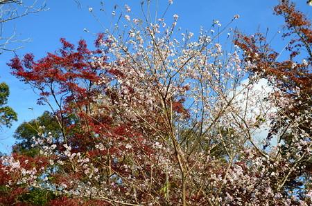 紅葉と青空と四季桜(シキザクラ)