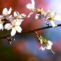 写真: 初冬の桜