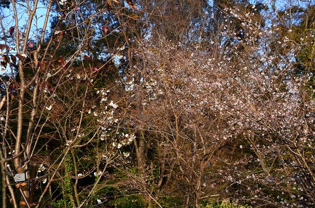 秋から冬の桜コーナー