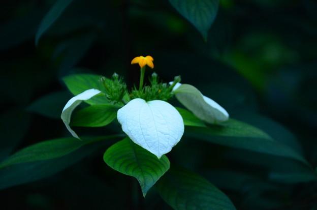 毛崑崙花(ケコンロンカ)