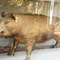 Photos: 猪の剥製