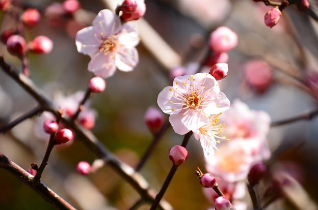 賀茂川沿いの梅