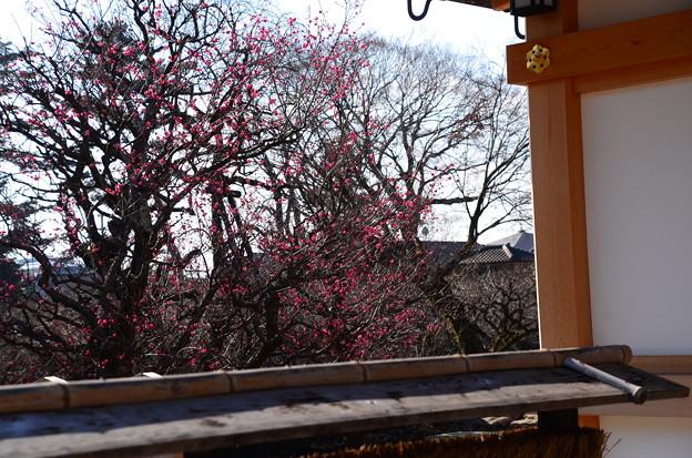 文道会館脇の紅梅