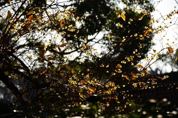 蝋梅の燦めき