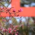 Photos: 咲き始めた光琳の梅