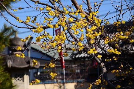 大蓮寺の素心蝋梅